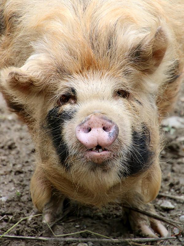Kune Kune Schwein